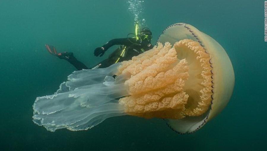 Alforreca do tamanho de um adulto surpreende mergulhadora na costa inglesa